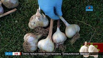 Сроки посадки озимого чеснока в рубрике «Руки садовода»