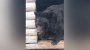 В Челябинском зоопарке медведь Харитон прошел лечение иготовится кспячке