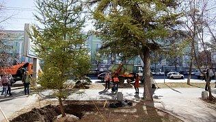 В Челябинске высадили новые даурские лиственницы