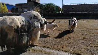 В челябинском зоопарке воссоединили семью яков
