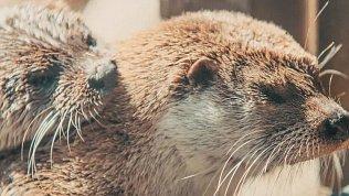 Любовь и нежность в Челябинском зоопарке: видеоролик с выдрами Ваней и Маней