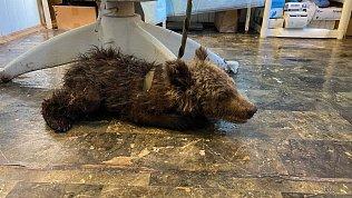 В Челябинске ветеринары спасают найденного натрассе медвежонка