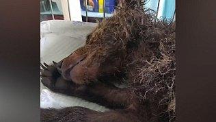 Карен Даллакян снял на видео очередного спасенного медвежонка