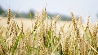 Экспорт зерна изЧелябинской области превысил 22тысячи тонн