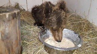 Спасенный под Катав-Ивановском медвежонок остается в тяжелом состоянии
