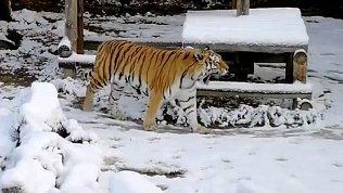 Выход тигра в челябинском зоопарке на снег сняли на видео