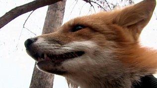 Семья из Миасса спасла жизнь лисёнку