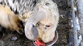 Именнинную трапезу яка Лаврентия сняли на видео в Челябинском зоопарке