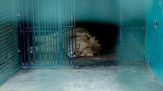 Отправку львенка Симбы и леопарда Евы в Танзанию покажут в прямом эфире