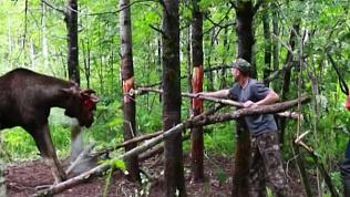 Катав-Ивановские егеря освободили лося из браконьерской ловушки