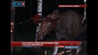 Лось попал в капкан браконьеров в лесу под Катав-Ивановском