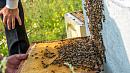 Жители Озерска вызвали спасателей, испугавшись атаки пчелиного роя