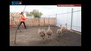 На ферме в селе Кузнецком поселились четыре страуса