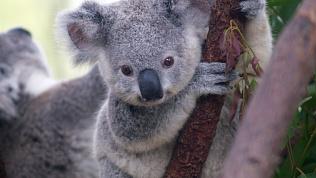 Детёныш коала стал героем видеоролика