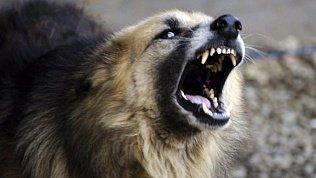 Собака пыталась растерзать школьника в Катав-Ивановском районе