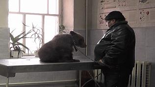 Медвежонку Стёпе поставили прививку от бешенства