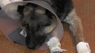 Живодёры порубили лапы собаки топором в Троицке