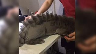 Кот-дракон  после салона красоты