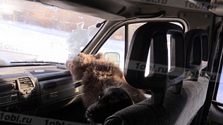 Троицкий медвежонок стал автолюбителем