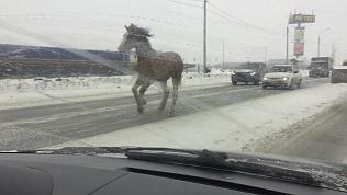 Сбежавшую лошадь сфотографировали на трассе от Копейска к Челябинску