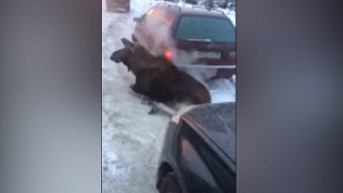 Лося, греющегося выхлопными газами, сняли на видео