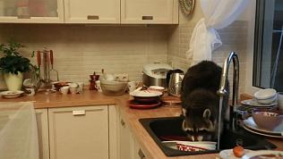 Хищник пробрался в дом к людям и перемыл всю грязную посуду