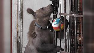 Медвежонок Степа справился с чесоткой и отращивает новую шерсть