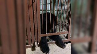 Переезд медведицы Мани в Челябинск отложен до выходных