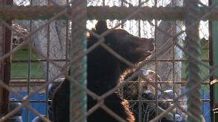 Медведица Маня освобождена из разорившегося зоопарка и переселена в Челябинск