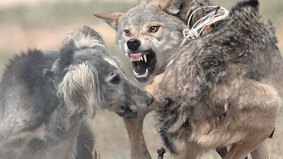 Бешенство смертельно для человека! Как спастись от зараженного животного?