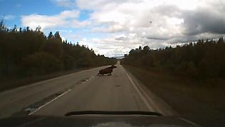 Корова-пешеход попала под колеса легкового автомобиля