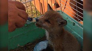 В центре Челябинска прохожие нашли маленького лисенка