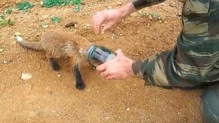 Охотники помогли лисенку вытащить голову из стеклянной банки