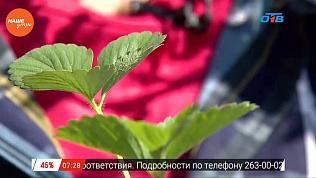 Наше УТРО на ОТВ – садовые истории о новом сорте земляники