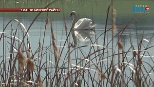 На озере Большой Сарыкуль живут несколько лебединых семей