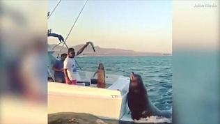 Танцующие коты, огромный тюлень и нападение льва на внедорожник. Подборка лучших видео с животными