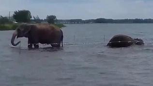 Челябинцы «лицом к лицу» встретились со слонами в озере Смолино