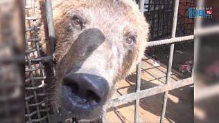 Купание подросшего медведя Степана из Троицка сняли на видео