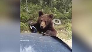 Медвежонок создал пробку на трассе, выпрашивая пряники у водителей