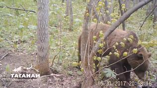 Игривых медведей и осторожных волков «поймала» фотоловушка на Таганае