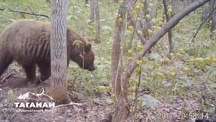 Фотоловушка сняла волка и медведя на Таганае