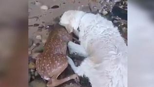 Собака спасла раненого олененка и оказала ему первую медицинскую помощь