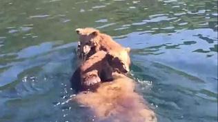 Медведица переправляет медвежат через реку на спине