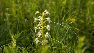 Высокий урожай диких орхидей зафиксировали сотрудники Таганая