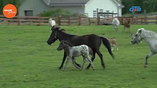 Наше УТРО на ОТВ – пушистое утро о миниатюрных лошадях (3 часть)