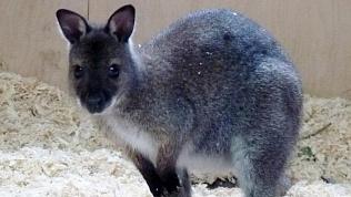 Челябинцы выбрали имя для маленького кенгуру из зоопарка