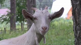 Разъяренный прохожий вызвал у беременной козы преждевременные роды, пнув ее по животу