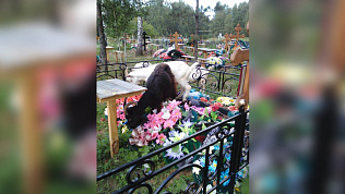 Миасские козы облюбовали искусственные цветы на местном кладбище