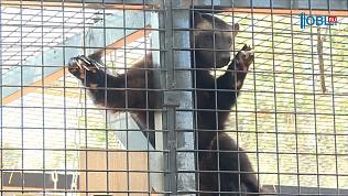 В Челябинском зоопарке появилась росомаха