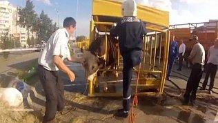 Челябинские спасатели освободили из клетки застрявшего в ней быка